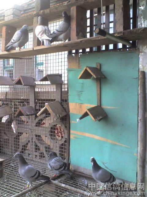 种鸽子棚的标准设计图