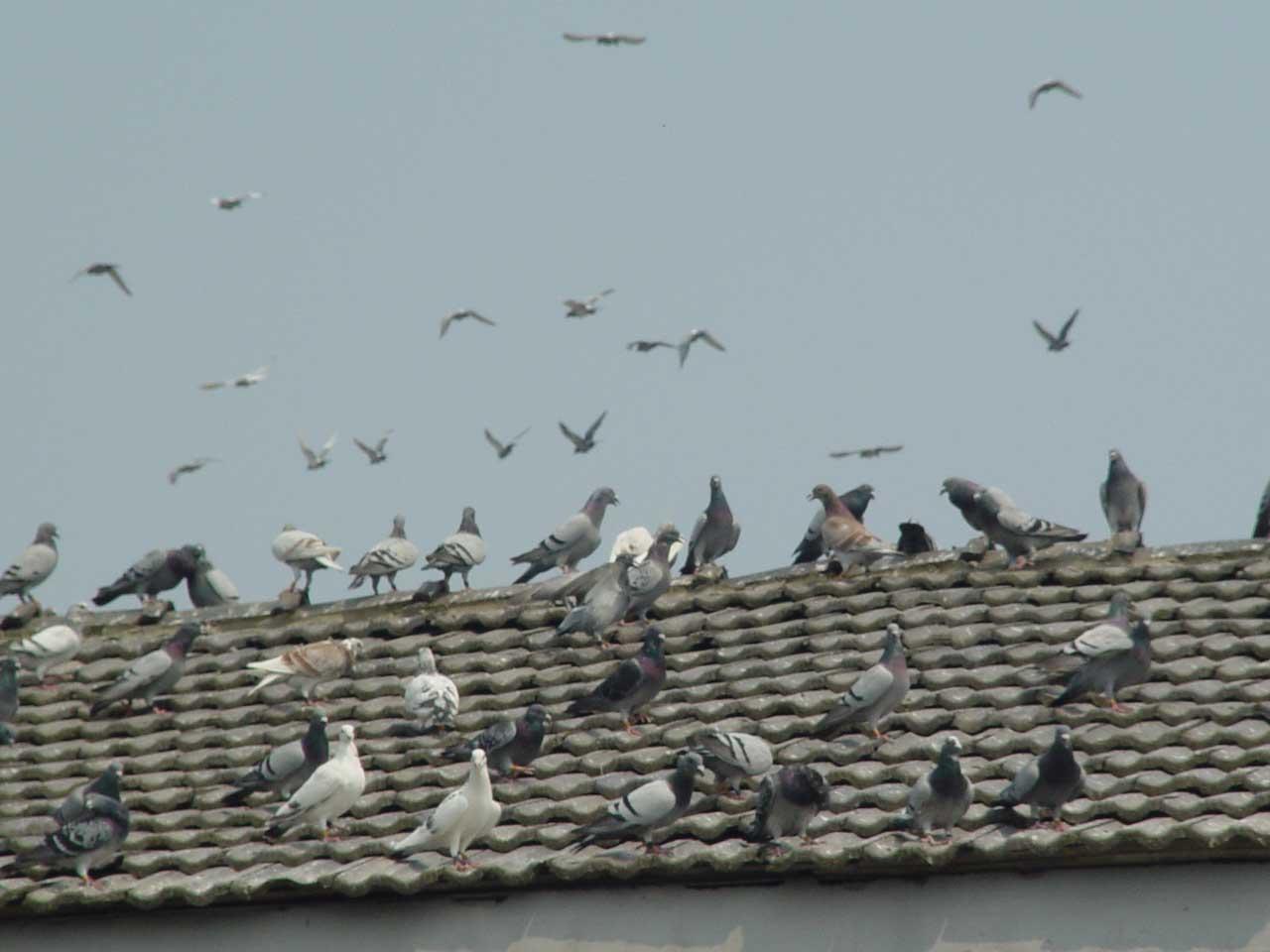 鸽子降落图片素材