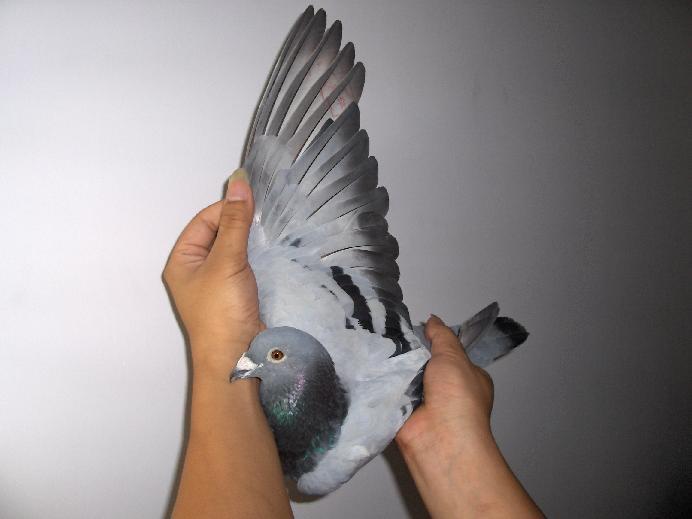 鸽子画画图片大全