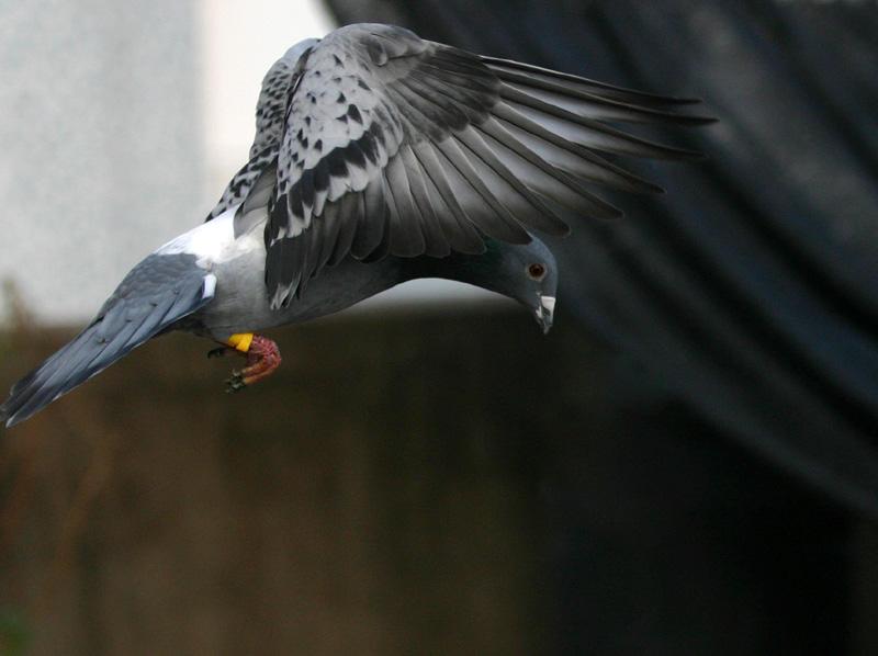 飞翔--中国信鸽信息网相册