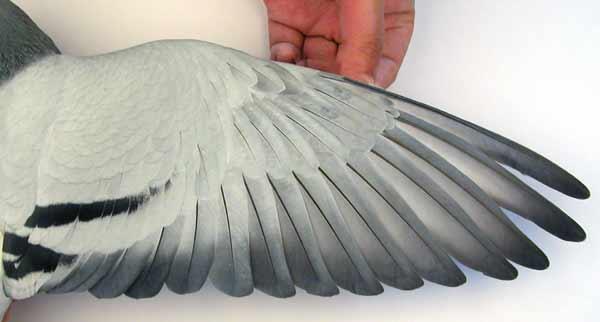 翅膀--中国信鸽信息网相册