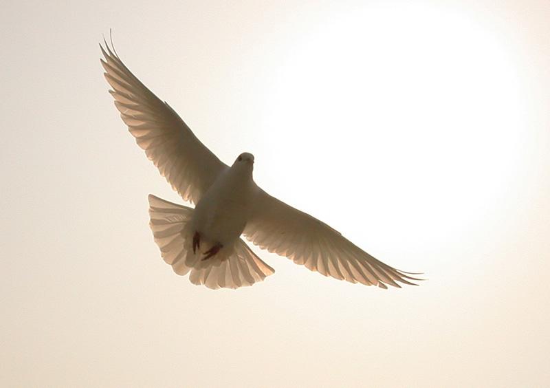 鸽子飞翔flash素材