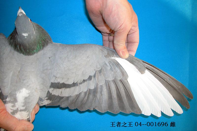 赛绩鸽的翅膀