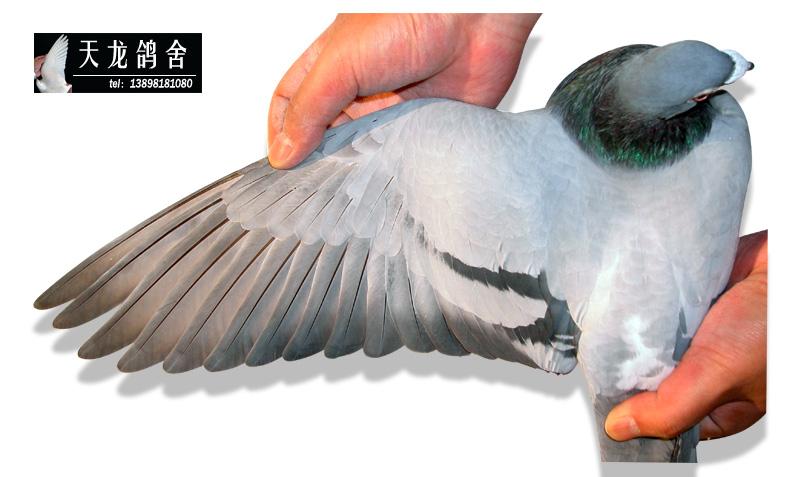 冠军鸽的翅膀--中国信鸽信息网相册