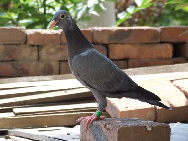 这鸟是我上中鸽网看的最差的一只了 ---中国信鸽信息网相册
