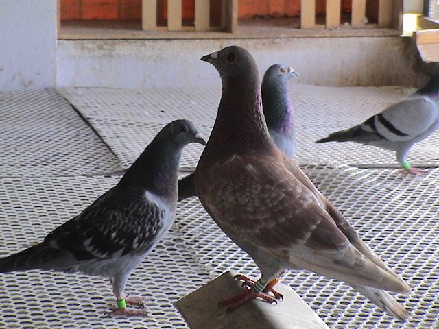 信鸽诱捕鸽舍设计图展示