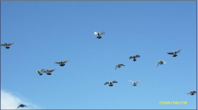查看作者所有作品 让爱鸽继续飞翔在 云南省南华信鸽协 最喜欢的鸽子