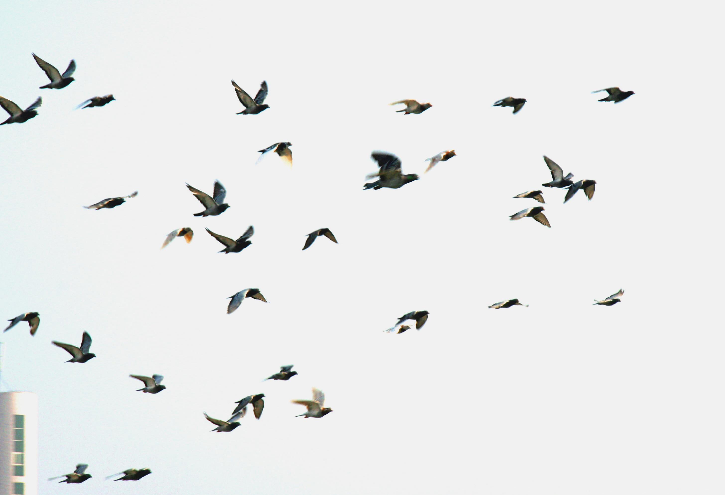 鸽子在飞翔曲谱