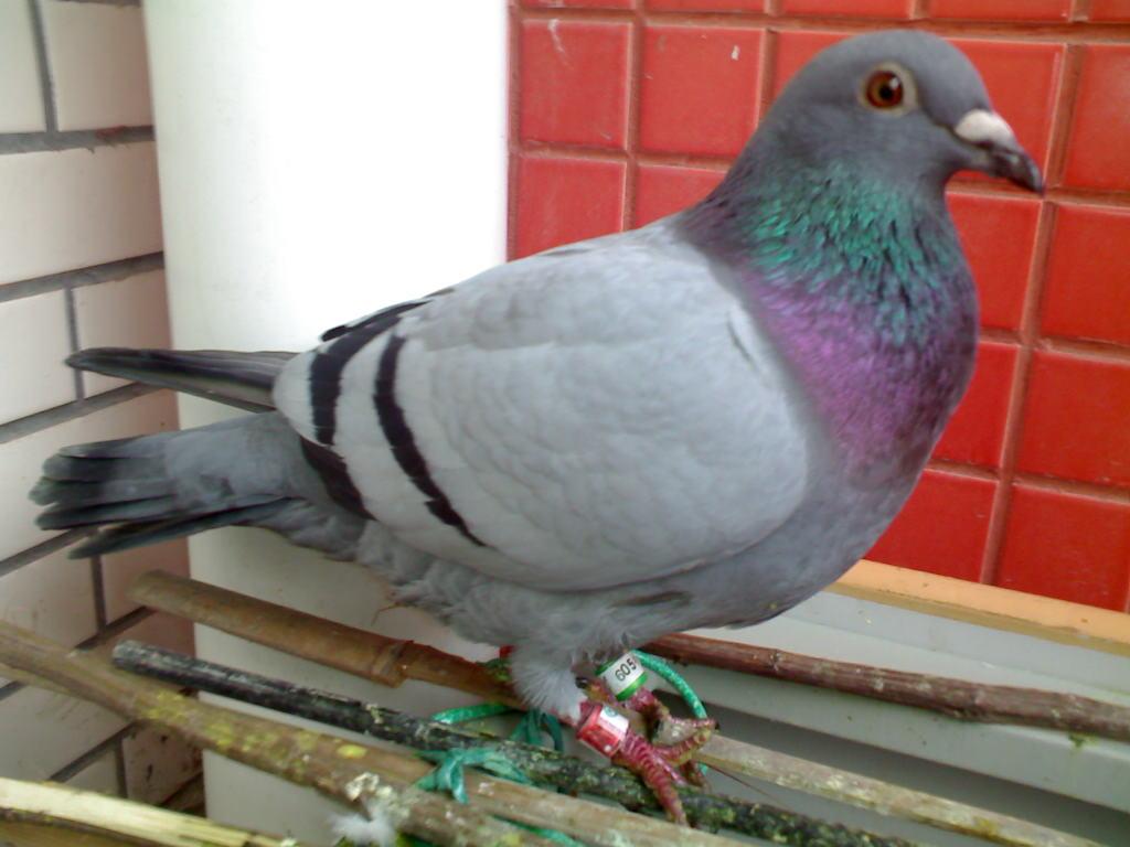 动物 鸽 鸽子 鸟 鸟类 1024_768