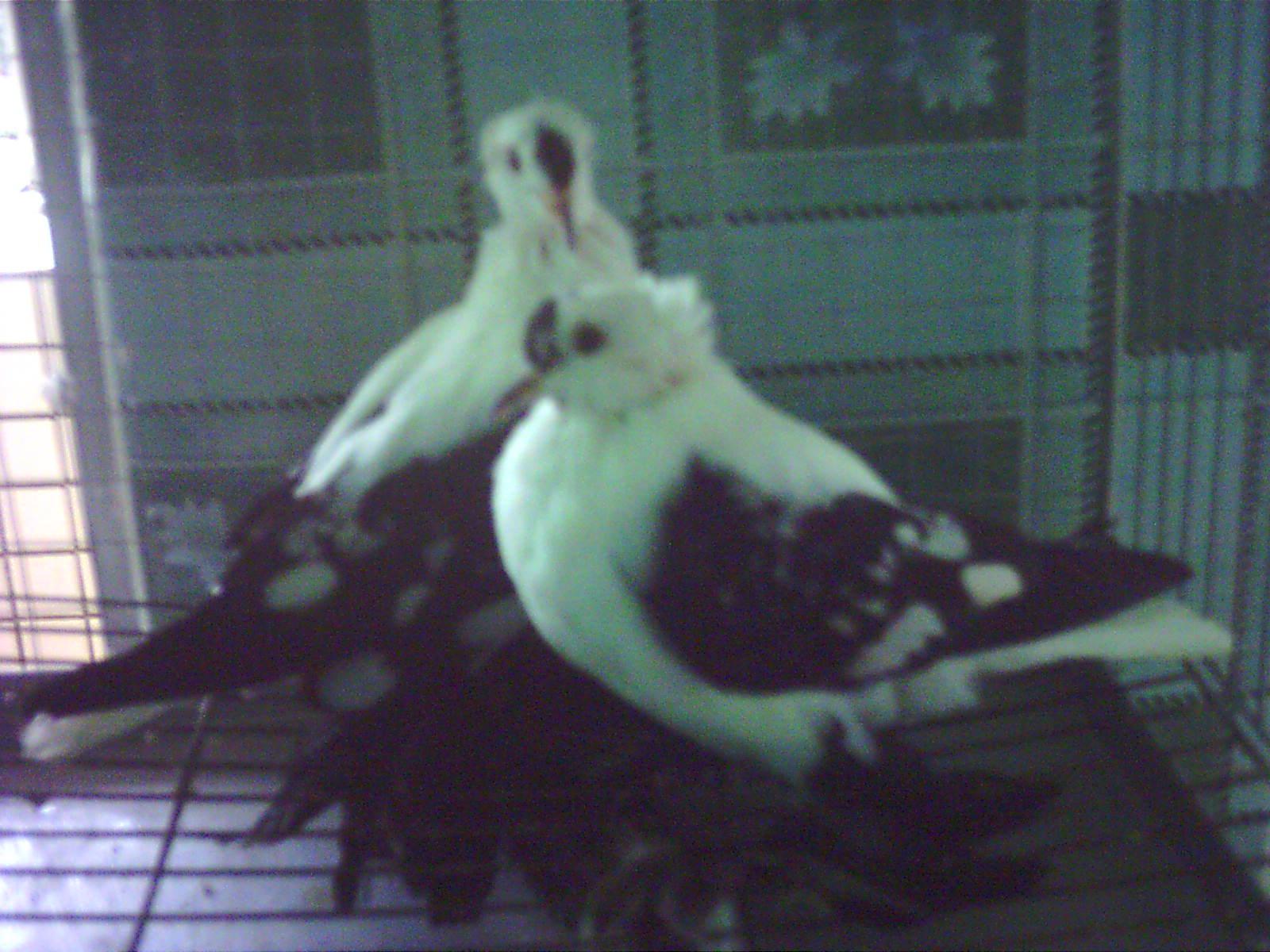 中国 世界/世界名鸽//中国信鸽信息网相册