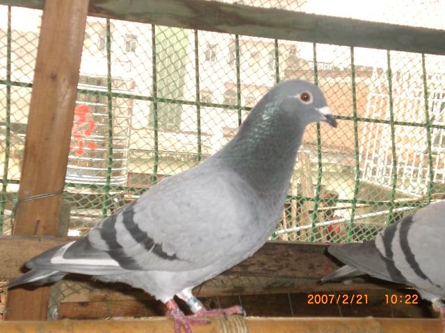 青蛙鸽动物鸟鸟类640_480梦到变成母亲自已鸽子图片