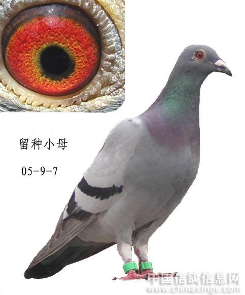我的鸽棚--中国信鸽信息网相册