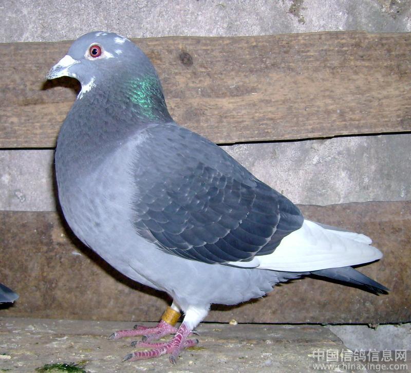 鸽子图集 鸽子养殖视频捕鸽器 鸽子养殖视频捕鸽器图片