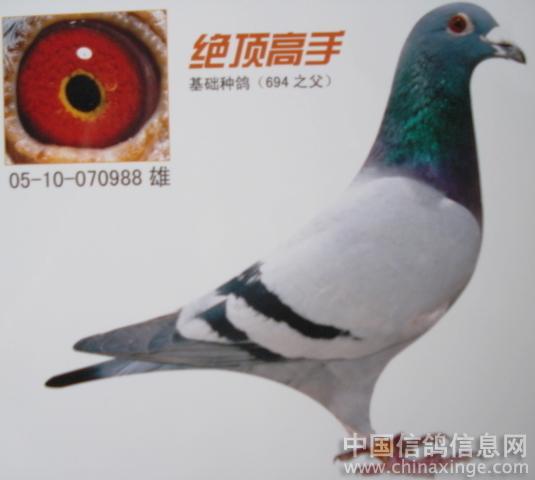请您欣赏,我的超级种鸽和赛鸽
