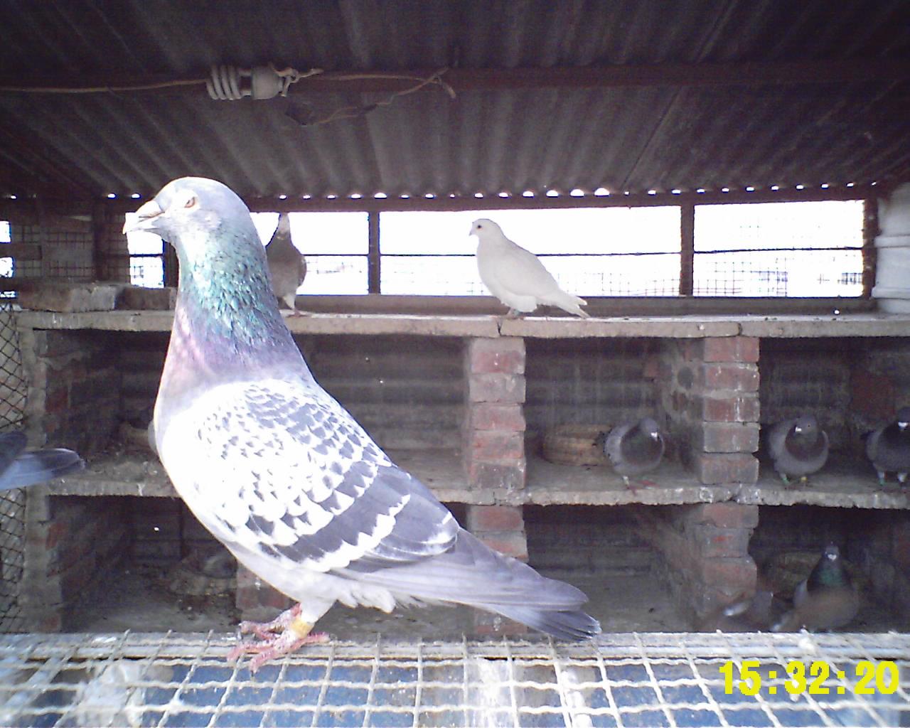 鴿舍圖片|鴿棚設計大全圖|鴿棚設計大全圖 農村|正規鴿棚設計大全圖