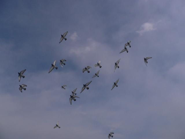 飞翔蓝天 中国信鸽信息网相册 高清图片