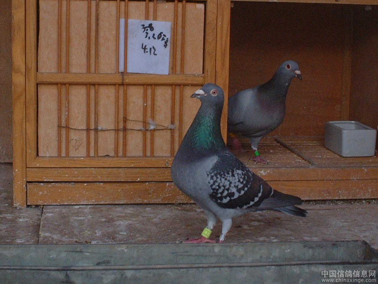 我的小可爱--中国信鸽信息网相册