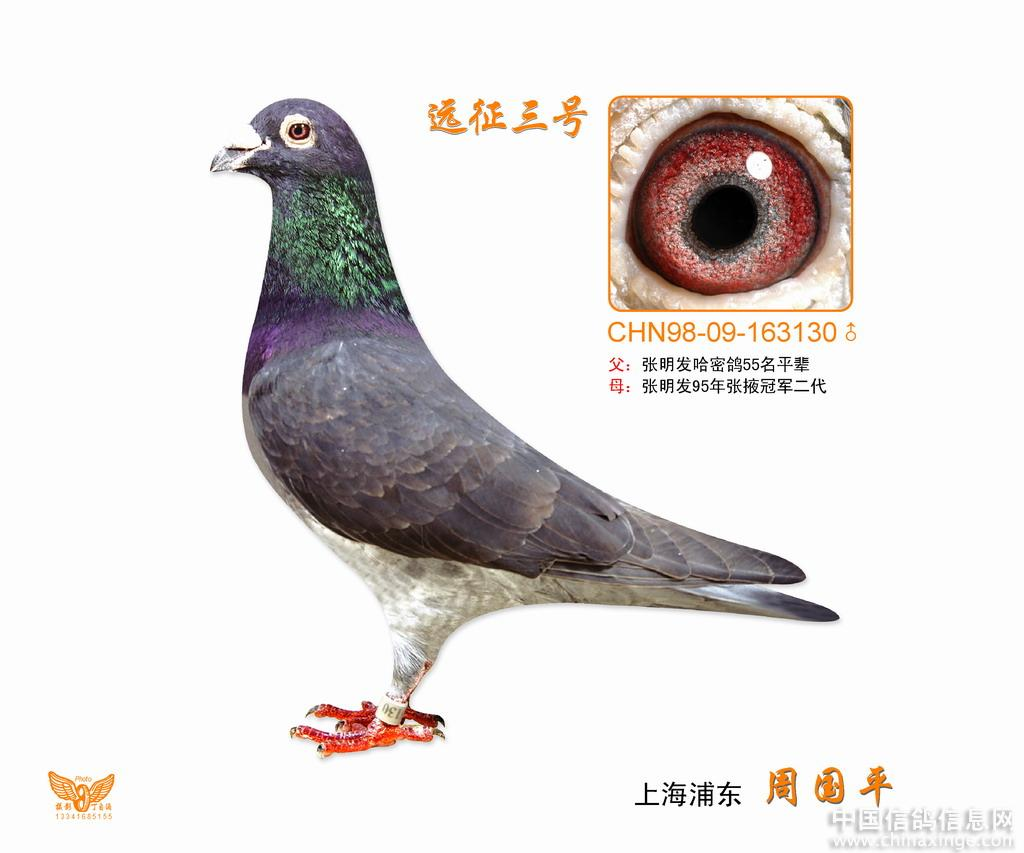 超远程精粹 精品!--中国信鸽信息网相册