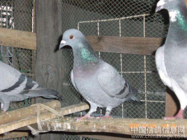 泉州洪梅赛鸽(眼睛受伤)-零距离qq158171644 中国信鸽信息网相册
