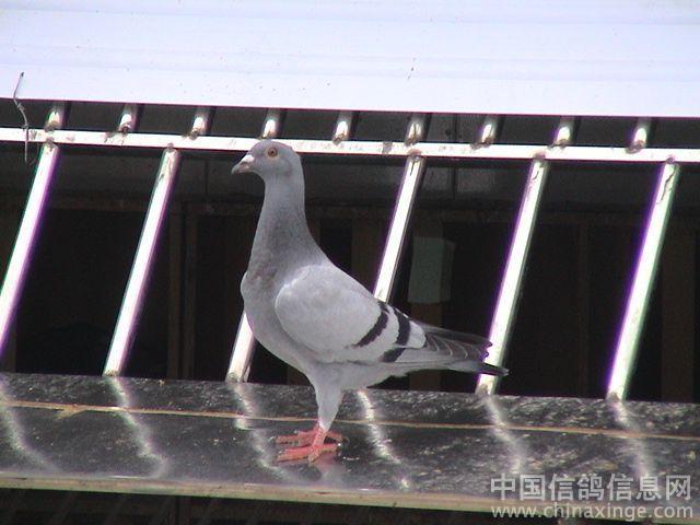 应该有现状的鸽友把自己的行业和鸽棚登上让我广告设计更多鸽子及v现状趋图片