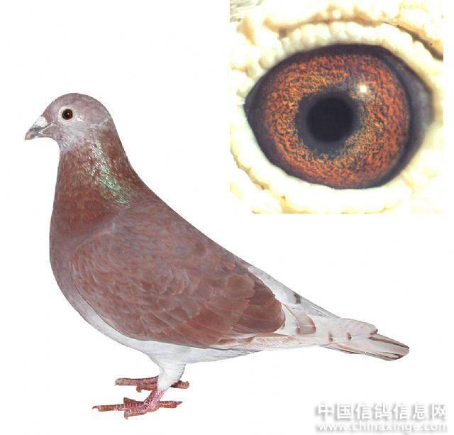 红绛信鸽眼砂配对图_信鸽的种鸽眼砂配对图内容|信鸽的种鸽眼砂配对图版面设计