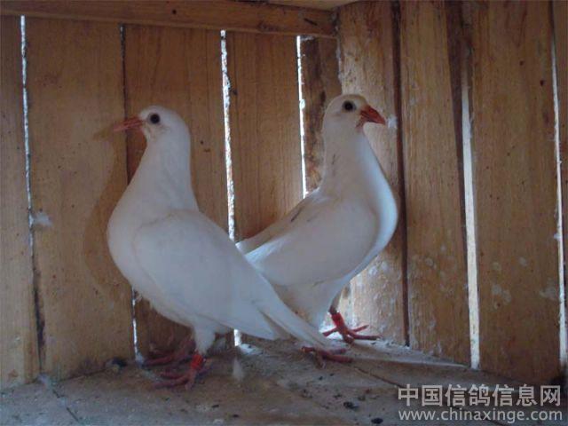 可爱的白色幼鸽