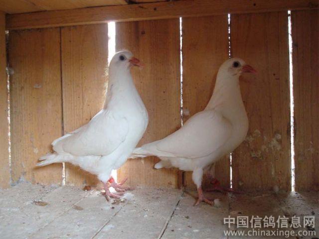 动物鸽鸽子鸟鸟类640_480红妖小狐娘小蜘蛛图片