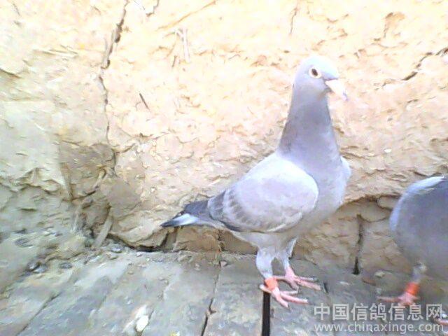 中国幼交_交公棚幼鸽--中国信鸽信息网相册