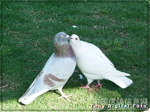 鸽子美丽的鸽子歌谱
