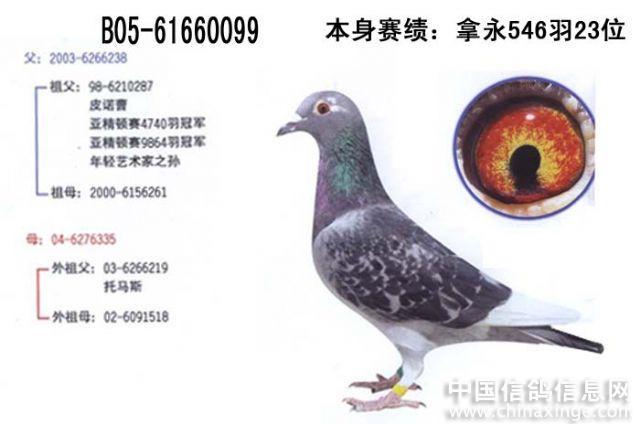 教学鸽动物鸟类祛除鸟鸽子640_424什么比较蚊子图示好图片