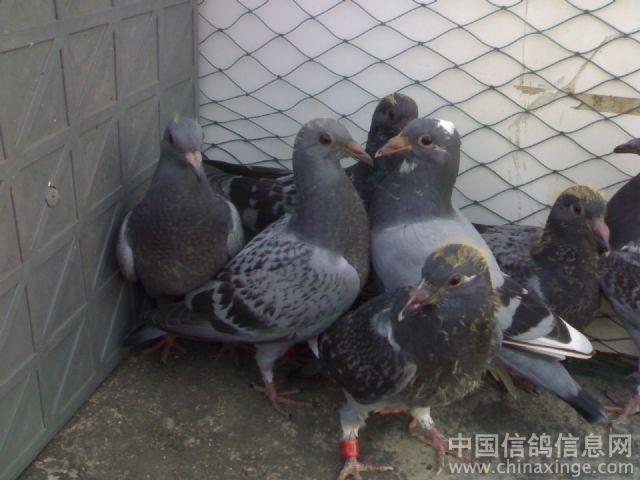 幼鸽--中国信鸽信息网视频秒模拍足相册图片