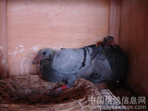 动物 鸽 鸽子 鸟 鸟类 475_356