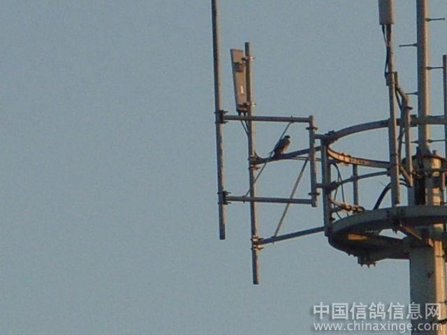 移动信号发射塔上的隼