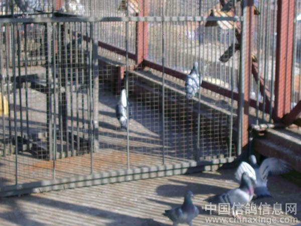 天下鸽问 鸽子砂眼图片; 比利时赛鸽鸽舍图片; 辽宁畅通鸽舍