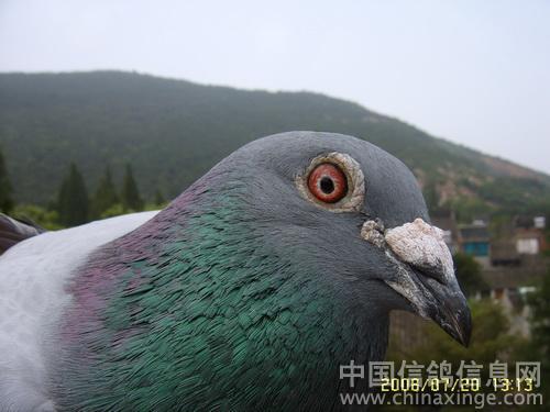 鸽子头像--中国信鸽信息网相册