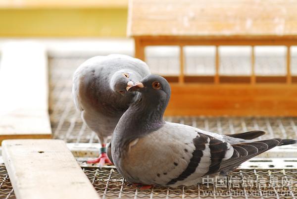 08 秀出你的鸽舍 ---中国信鸽信息网相册