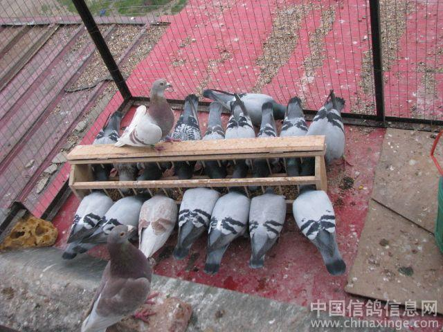 我的鸽舍 中国信鸽信息网相册 -我的鸽舍