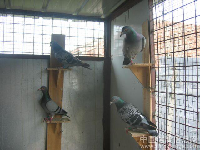 秀出你的鸽舍 99鸽苑写真