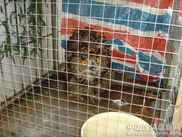 了一只大的吓人的猫头鹰