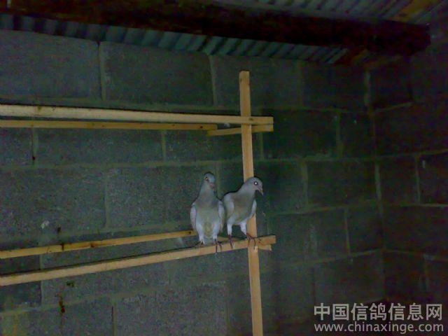 鸽子喝水器手工制作图片