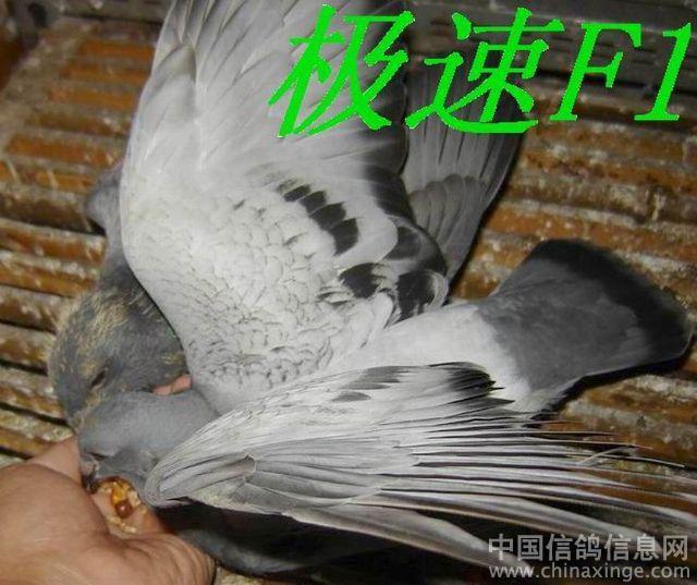 飞翔的鸽子剪纸步骤