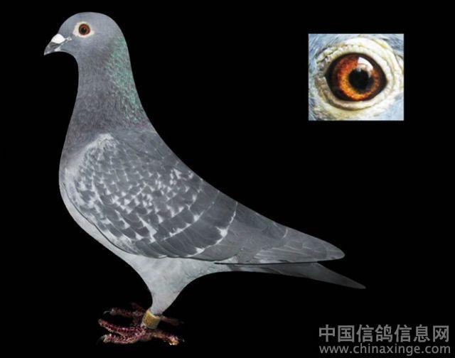 我的吴淞--中国信鸽信息网相册