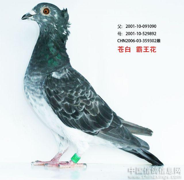 鸽舍视频--中国相册信息网信鸽的网站外国图片图片