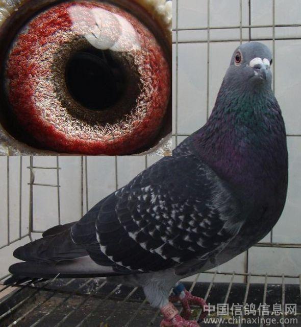 眼睛会变色的成绩鸽--中国信鸽信息网相册