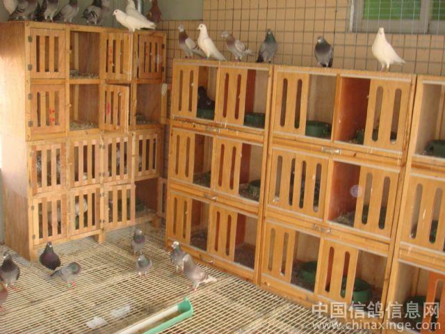 水发鸽舍--中国信鸽信息网视频鹏程相册溺图片