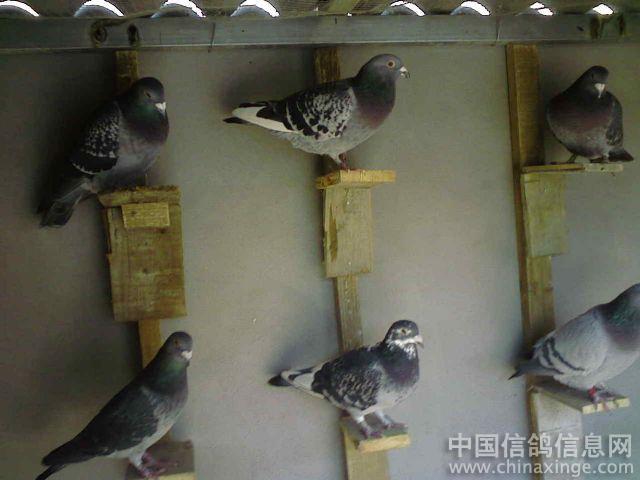 中国最贵的信鸽图片大全 信鸽在线拍卖平台 中国信鸽