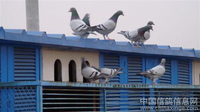 袁哥的鸽舍和信鸽--中国视频信息网鸽子的妆相册眼图片