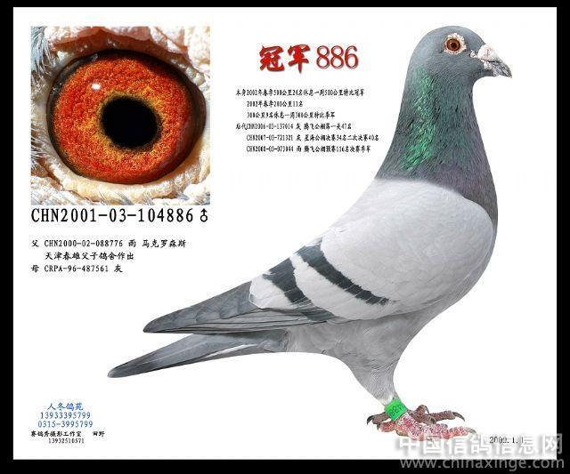 军鸽信鸽种鸽图 优秀种鸽信鸽欣赏 信鸽种鸽挑选