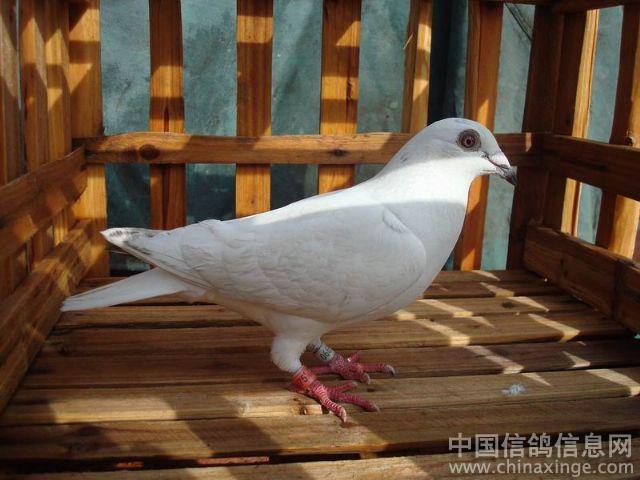 我觉得这样的鸽子归巢也费劲 -新手养鸽图片