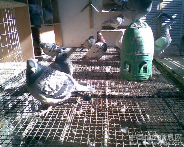 我的电脑鸽舍--中国信鸽信息网相册鱼骨怎么绘制阳台图图片